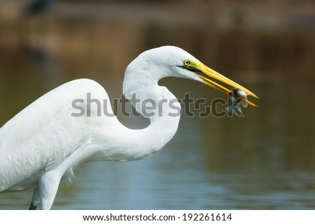 A portrait of a Great White Egret (Egretta alba) with a captured fish