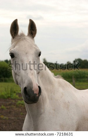A portrait of a grey warmblood horse.