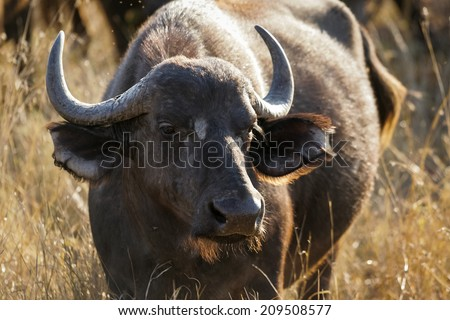 A portrait of a healthy looking wild Buffalo cow