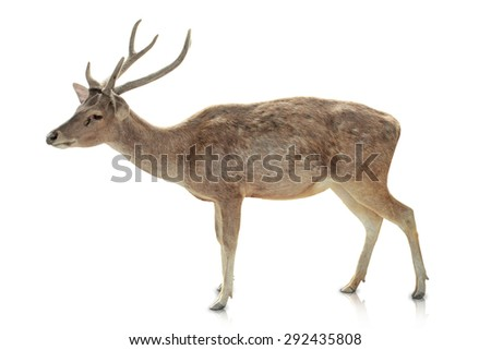 A portrait of a Horned deer isolated in white background - stock photo