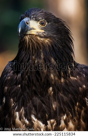 A portrait of a juvenile bald eagle. - stock photo
