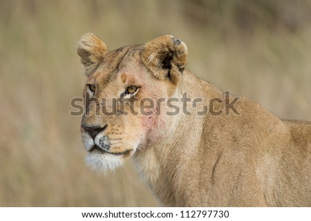 A portrait of a lioness in the Masai Mara Game Reserve in Kenya - stock photo