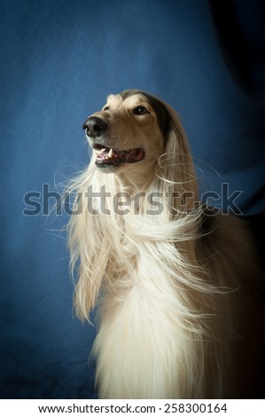 A portrait of a male afghan hound - stock photo