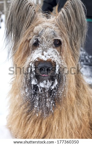A portrait of a pure bred blond Briard with snow on it's face. - stock photo