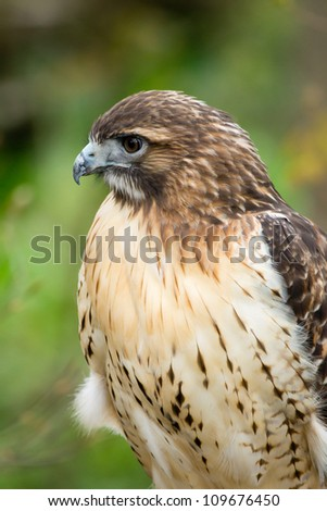 A portrait of a red-tailed hawk. - stock photo