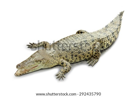 A portrait of a roaring Crocodile isolated in white background - stock photo