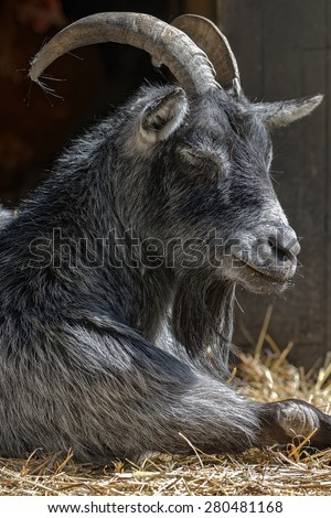 A portrait of a sleeping goat in a stable of a free range, Sweden - stock photo