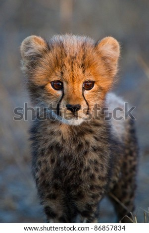 A portrait of a very young cheetah cub in golden light