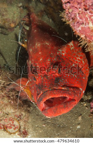 A portrait of a vibrantly red Tomato Rockcod in Sodwana Bay, South Africa