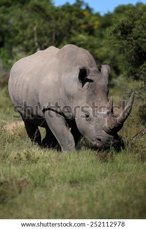A portrait of a white rhino bull. - stock photo