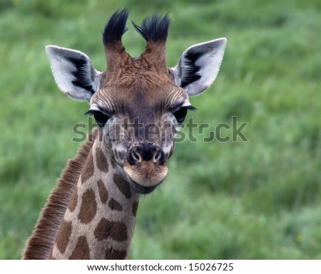 A portrait of a young giraffe calf - stock photo
