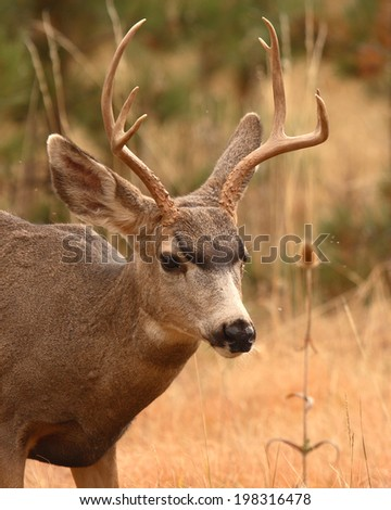A portrait of a young Mule Deer buck in Colorado. - stock photo