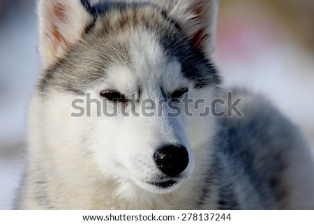 A portrait of a young Siberian Husky dogs