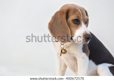 A Portrait of an Adorable Beagle Dog, White Background, Selective Focus Point - stock photo