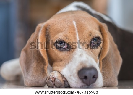 A Portrait of An Adorable Beagle with Grey Eyes, selective focus point