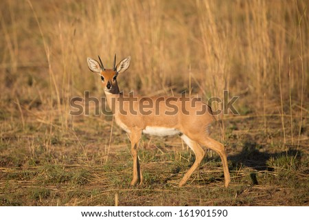 A portrait of an adult steenbok male - stock photo