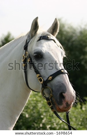 A portrait of an grey spanish Andalusian horse against a green background, backlight makes for a dreamy atmosphere