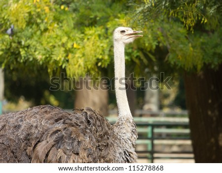A portrait of an ostrich, head and wings, in the zoo.