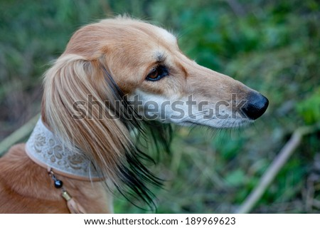 A portrait of brown saluki in green grass