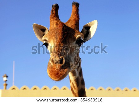 A portrait of giraffe snout close up on sky background. Selective focus