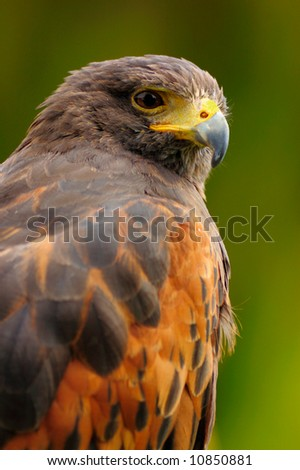 A portrait of Harris hawk (Parabuteo unicinctus), a raptor that hunts in social cooperative groups