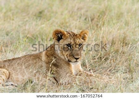 A portrait of lion cub - stock photo