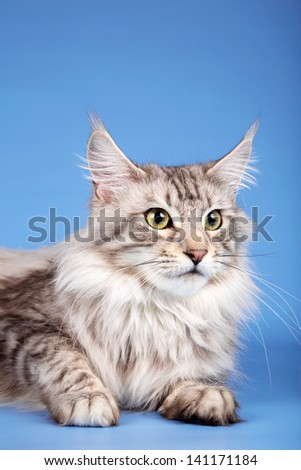 A portrait of maine coon cat on blue background - stock photo