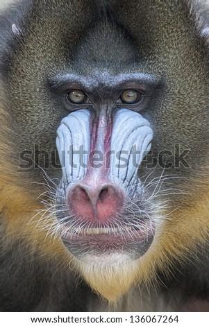 A portrait of primate - stock photo