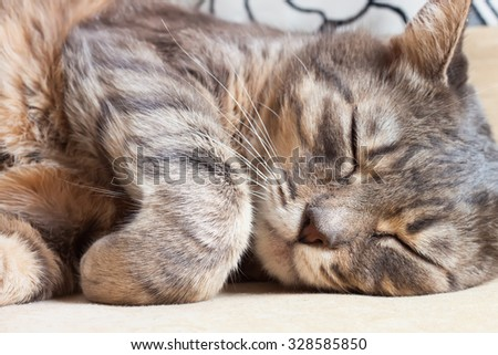 A portrait of sleeping tabby gray domestic cat - stock photo