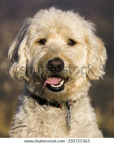 Labradoodle Stock Photos Royalty Free Images Amp Vectors