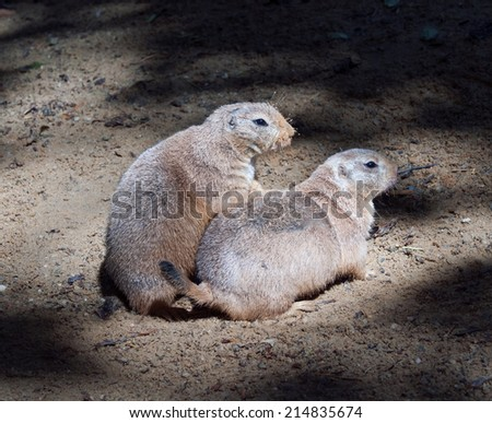 A portrait of two black-tailed prairie dogs. - stock photo