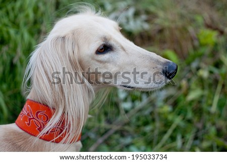A portrait of white saluki in green grass