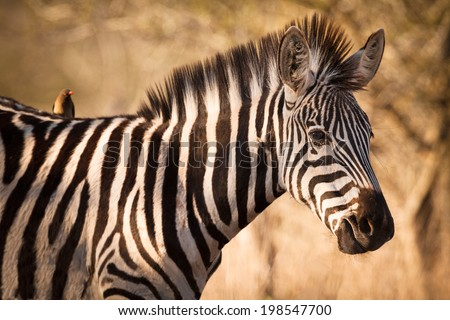 A portrait of zebra with symbiont bird, Kruger National Park, South Africa - stock photo