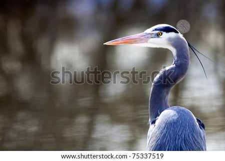 A portraiture image of a great blue heron by the lake. - stock photo