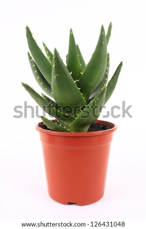 A pot of aloe vera on white background - stock photo