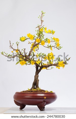 a Pot of Apricot bloomsom ( Chau Hoa mai ) ,the flowers of traditional Vietnamese new year  - stock photo