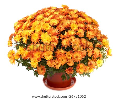Mums flowers Stock Photos, Images, & Pictures   Shutterstock