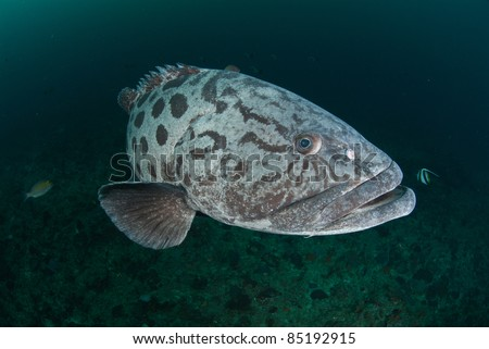A potato bass swimming along a reef, South Africa