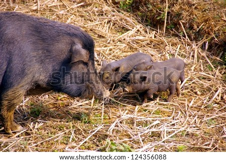 A potbellied pigwith young piglets  in the rice fields in Vietnam - stock photo