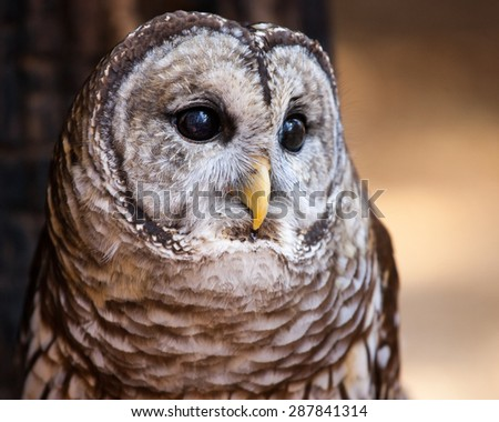 A potrait of a barred owl.