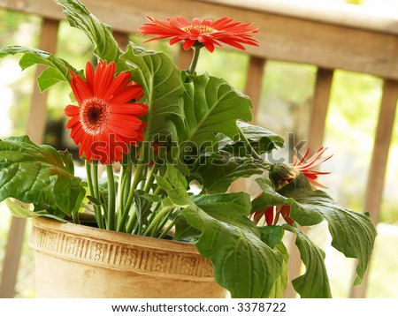 a potted red gerbera daisy on the deck - stock photo