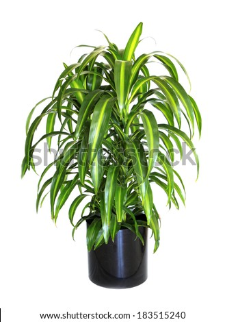 A Potted Variegated Dracaena (Corn Plant) Isolated on White - stock photo