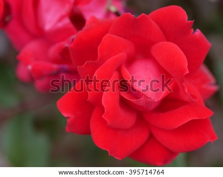 """A powerful and moving explosion of radiant red that is gently infused with pink. This rose grabbed my attention as I was walking by and it seemed to say, """"You are beautiful just the way you are.""""  - stock photo"""