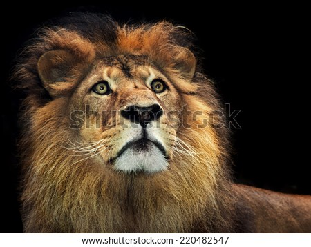 A powerful portrait of a male maned alpha lion