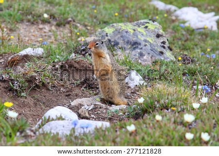 A Prairie Dog (also known as a Ground Squirrel) standing in wildflower meadow. - stock photo