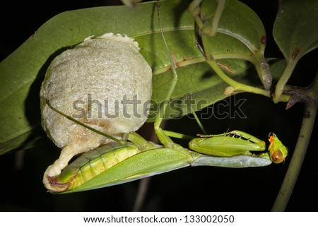 A Praying Mantis creates her egg sac or case (called an ootheca) at night in a rainforest near Ranomafana, Madagascar. - stock photo
