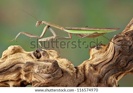 A praying mantis is walking on a dead branch. - stock photo