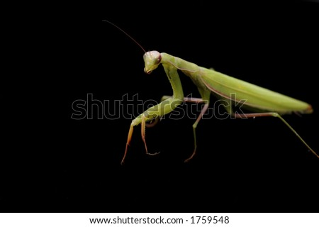 A praying mantis on a black background.