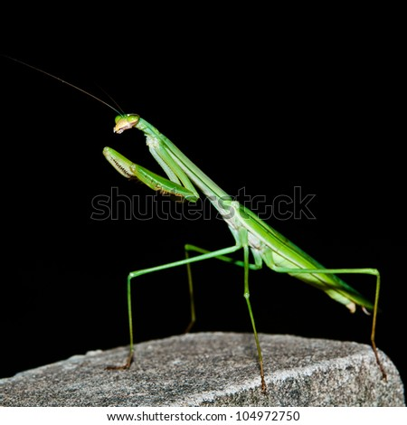 A Praying Mantis on The Black background - stock photo