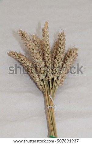 A Presentation of Twelve Heads of Harvested Wheat.